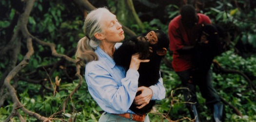 Jane Goodall, English primatologist, ethologist, and anthropologist, with a chimpanzee in her arms, c. 1995